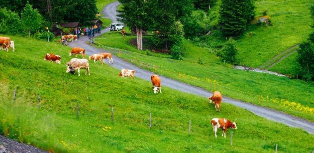 lauerbrunnen-cows